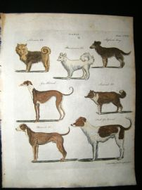 C1790 Hand Col Print. Canis. Greyhounds, Siberian, Danish, Pomeranian Dogs